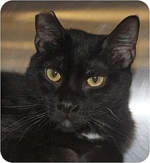 Domestic Shorthair Cat for adoption in Morganton, North Carolina - Midnight