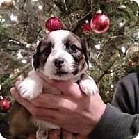 Adopt A Pet :: Chestnut - Newtown, CT