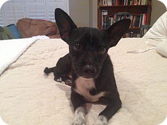 Chihuahua Mix Dog for adoption in San Antonio, Texas - Tia