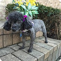 Poodle (Miniature) Dog for adoption in Algonquin, Illinois - Rosie