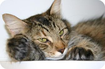 Domestic Mediumhair Cat for adoption in Olympia, Washington - 38304