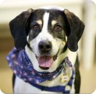 Coonhound/Foxhound Mix Dog for adoption in Kettering, Ohio - Hunter