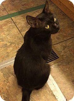 Polydactyl/Hemingway Cat for adoption in Vass, North Carolina - Mittens
