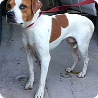 Hound (Unknown Type) Mix Dog for adoption in Phoenix, Arizona - Hutch