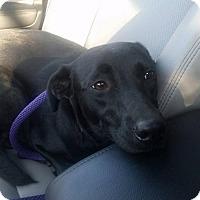 Adopt A Pet :: Daisy - Palatine/Kildeer/Buffalo Grove, IL