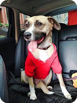 German Shepherd Dog Mix Dog for adoption in Westerly, Rhode Island - Gunther Shy Shep