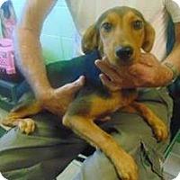 Adopt A Pet :: Misty - Bernardston, MA