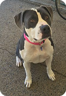 Staffordshire Bull Terrier/American Staffordshire Terrier Mix Dog for adoption in Auburn, Washington - Victoria