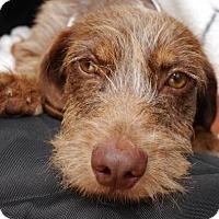 Adopt A Pet :: Benny Hill - Houston, TX