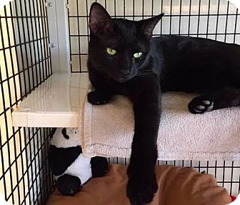 Domestic Shorthair Cat for adoption in Chicago, Illinois - Larry Leonard