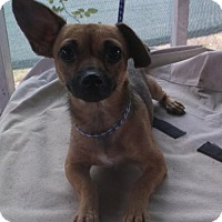 Chihuahua/Rat Terrier Mix Dog for adoption in Bonifay, Florida - Nacho