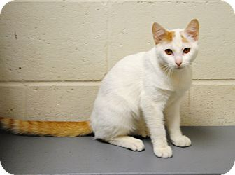 Domestic Shorthair Cat for adoption in Parsons, Kansas - Chance
