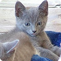 Domestic Shorthair Kitten for adoption in Morgan Hill, California - Reba