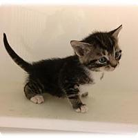 Adopt A Pet :: Julius - Herndon, VA