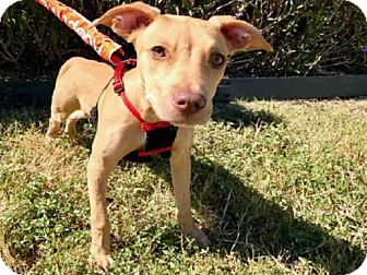 American Staffordshire Terrier Mix Dog for adoption in San Antonio, Texas - GUAPO