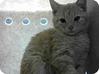 Domestic Shorthair Cat for adoption in San Bernardino, California - URGENT on 11/23 at DEVORE