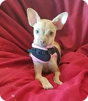 Chihuahua Dog for adoption in Lemoore, California - Sophia Vergrrra