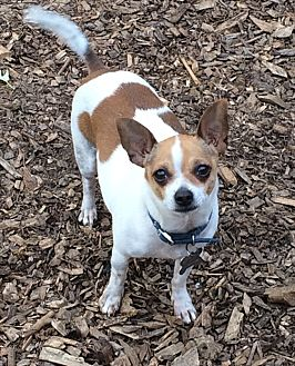 Chihuahua Mix Dog for adoption in Acworth, Georgia - Moose