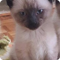 Adopt A Pet :: Juno - Valley Park, MO