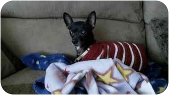 Chihuahua Mix Dog for adoption in Wilmington, Massachusetts - Rhea