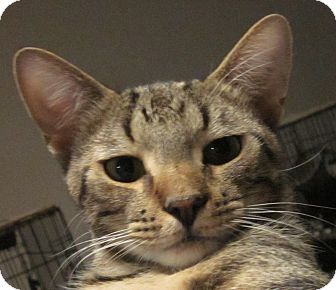 Bengal Cat for adoption in Winchester, California - Dude