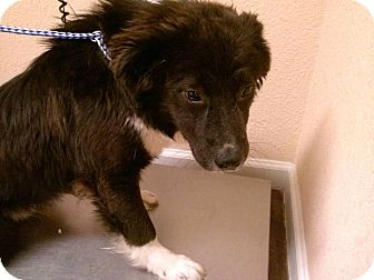 Newfoundland/Collie Mix Puppy for adoption in New Boston, New Hampshire - Big Elvis