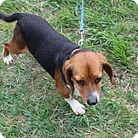 Adopt A Pet :: Keena - Minneapolis, MN