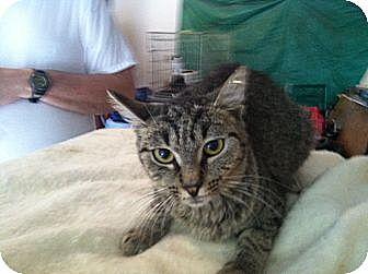 Domestic Shorthair Cat for adoption in Massillon, Ohio - EMMA