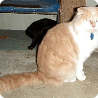 Domestic Longhair Cat for adoption in Columbus, Ohio - BC Tyson