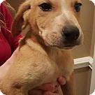 Adopt A Pet :: BROCK