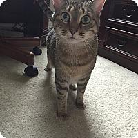 Domestic Shorthair Cat for adoption in Tampa, Florida - Noel