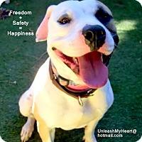 Adopt A Pet :: Harleydog - Hermosa, CA