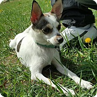 Fox Terrier (Smooth) Mix Dog for adoption in Tomah, Wisconsin - Brianna