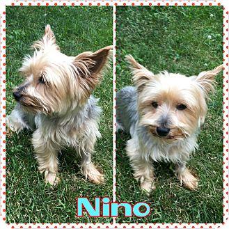 Yorkie, Yorkshire Terrier Dog for adoption in bridgeport, Connecticut - Nino