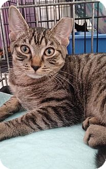 Domestic Shorthair Kitten for adoption in Middletown, New York - Sophia