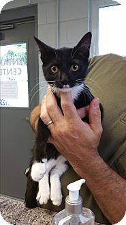 Domestic Shorthair Kitten for adoption in Paducah, Kentucky - Aleerah