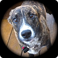 Adopt A Pet :: Sawyer - Ijamsville, MD