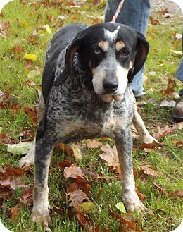 Bluetick Coonhound Mix Dog for adoption in Cheboygan, Michigan - Blue tick