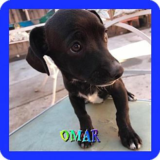 Poodle (Miniature)/Chihuahua Mix Puppy for adoption in Los Angeles, California - Omar