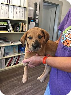 Catahoula Leopard Dog Mix Puppy for adoption in Paducah, Kentucky - Izzy