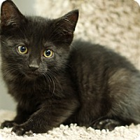 Adopt A Pet :: Amelia - Great Falls, MT