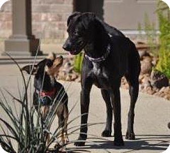 Labrador Retriever/Flat-Coated Retriever Mix Dog for adoption in Santa Fe, Texas - Clarissa