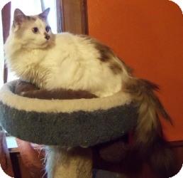 Ragdoll Cat for adoption in Ennis, Texas - Sammael (Sam)