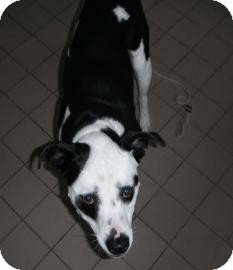Boxer Mix Dog for adoption in Jackson, Michigan - Jeremiah