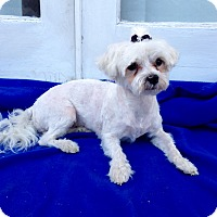 Adopt A Pet :: Duchess - Encino, CA