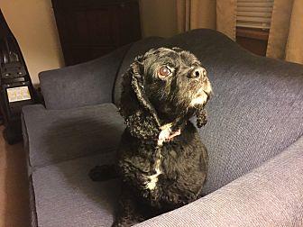 Cocker Spaniel Mix Dog for adoption in Mentor, Ohio - Eli 8yr