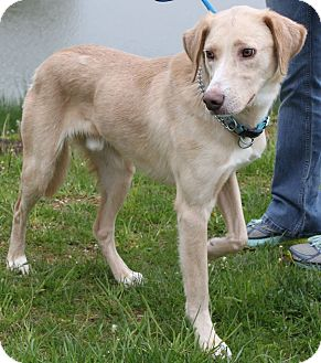 Labrador Retriever/Collie Mix Dog for adoption in Staunton, Virginia - Billy