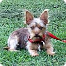 Adopt A Pet :: PUPPY COPPER