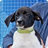 Adopt A Pet :: Marsha - Cashiers, NC