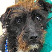 Adopt A Pet :: Wyatt-ADOPTION PENDING - Boulder, CO